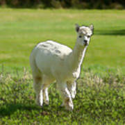 Illustration Of White Alpaca Like Llama Walking In Field Unique And Different Poster