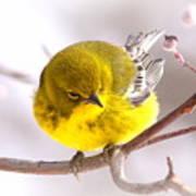 Img_0001 - Pine Warbler Poster