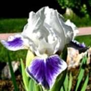 Iris Elegance Poster
