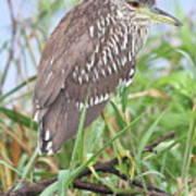 Juvenile Black-crowned Night Heron Poster