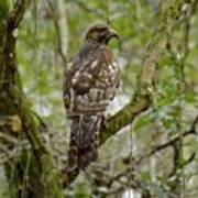 Juvenile Short-tailed Hawk Poster