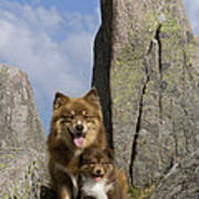 Lapinko�ra Dog And His Pup Poster
