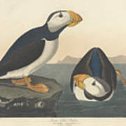 Large-billed Puffin Poster