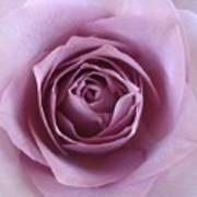 Lavender Of Rose Poster