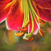 Lily Abstract Poster