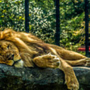 Lion Relaxing Poster