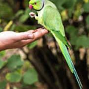 London Parakeet Poster