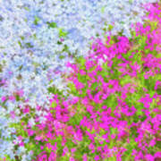 Pink And Purple Phlox Poster
