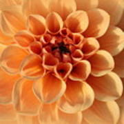 Lovely In Peaches And Cream - Dahlia Poster