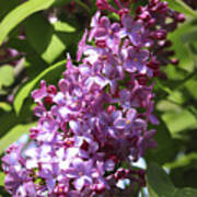 Lovely Lilacs Poster