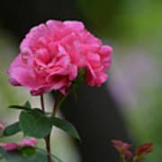 Lovely Pink Rose Poster