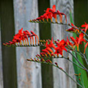 Lucifer Crocosmia By Fence Poster