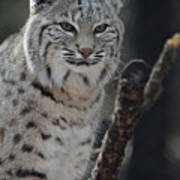 Lynx Perched In A Tree Poster