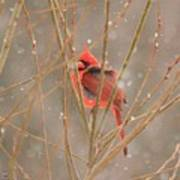 Male Northern Cardinal In Winter Poster