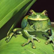 Marsupial Frog Gastrotheca Orophylax Poster