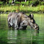 Moose In The Elk Creek Beaver Ponds Poster