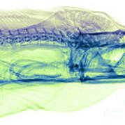 Moray Eel, Gymnothorax Funebris, X-ray Poster