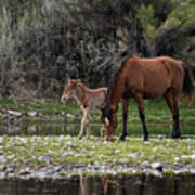Mother And Foal Wild Salt River Horses Poster