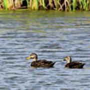 Mottled Ducks Poster