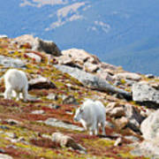 Mountain Goats On Mount Bierstadt In The Arapahoe National Forest Poster