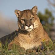 Mountain Lion Portrait North America Poster