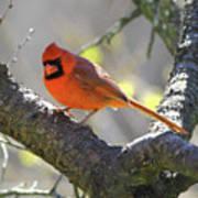 Mr Northern Cardinal Poster