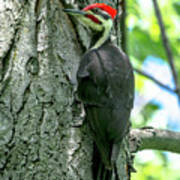 Mr. Pileated Woodpecker Poster