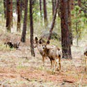Mule Deer In The Pike National Forest Poster