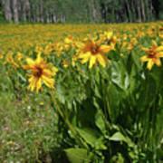 Mule Ear Sunflowers Poster