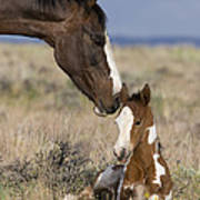 Mustang Mare And Foal Poster