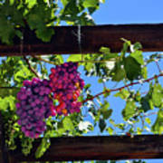 Napa Valley Inglenook Vineyard -2 Poster