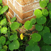 Nasturtium Leaves Poster