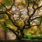 Old Japanese Maple Tree Poster