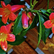 Orange Trumpet Vine At Pilgrim Place In Claremont-california   Poster