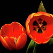 Orange Tulip Macro Poster