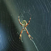 Orb Weaver Spider And Web Poster