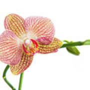 Orchid, Phalaenopsis, Flower Poster