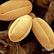 Pear Pollen Grains, Sem Poster