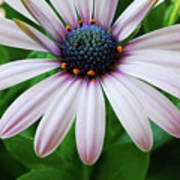 Pink African Daisy Poster