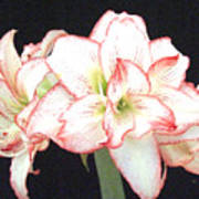 Pink And White Amaryllis Group Poster by Frederic Kohli