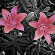 Pink Daylilies With Partially Desaturated Petals And Black And White Background Poster