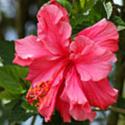 Pink Hibiscus Flower On A Tree Poster