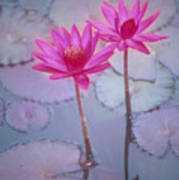 Pink Lily Blossom Poster by Ron Dahlquist - Printscapes