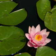 Pink Lotus Waterlily Poster