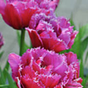 Pink Parrot Tulips Poster