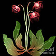 Pitcher Plant Flowers, X-ray Poster