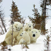 Polar Bear Ursus Maritimus Trio Poster by Matthias Breiter