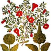Pomegranate, 1613 Poster