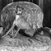 Portrait Of An Italian Greyhound In Black And White Poster