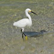 Posing White Egret Bird Poster